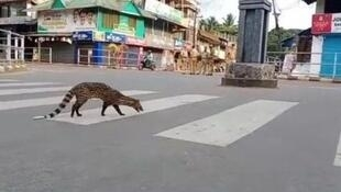 A civet cat has been spotted roaming on the streets of Kozhikode in the State of Kerala, India on 27 March, 2020.