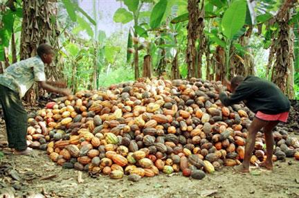 La culture de cacao en Côte d'Ivoire est pointée du doigt par Mighty Earth comme un facteur de déforestation.