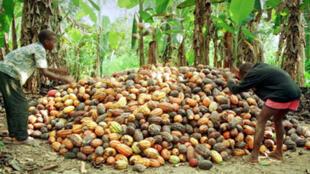 Jeune paysans rangeant des cabosses de cacao dans la région d'Aboiso, dans le sud de la Côte d'Ivoire.