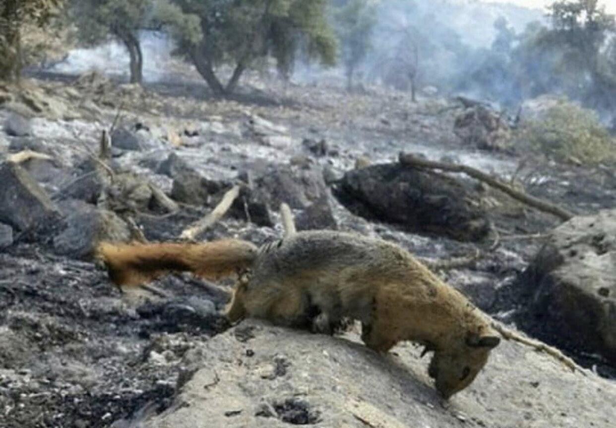 صدها گونۀ گیاهی و جانوری در آتش سوزی جنگل های خائیز سوختند.