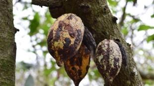 Des cabosses séchées sur un cacaoyer.