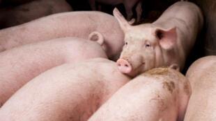 L'Europe envisage d'accepter le retour des farines de protéines animales dans la ration des porcs et des volailles