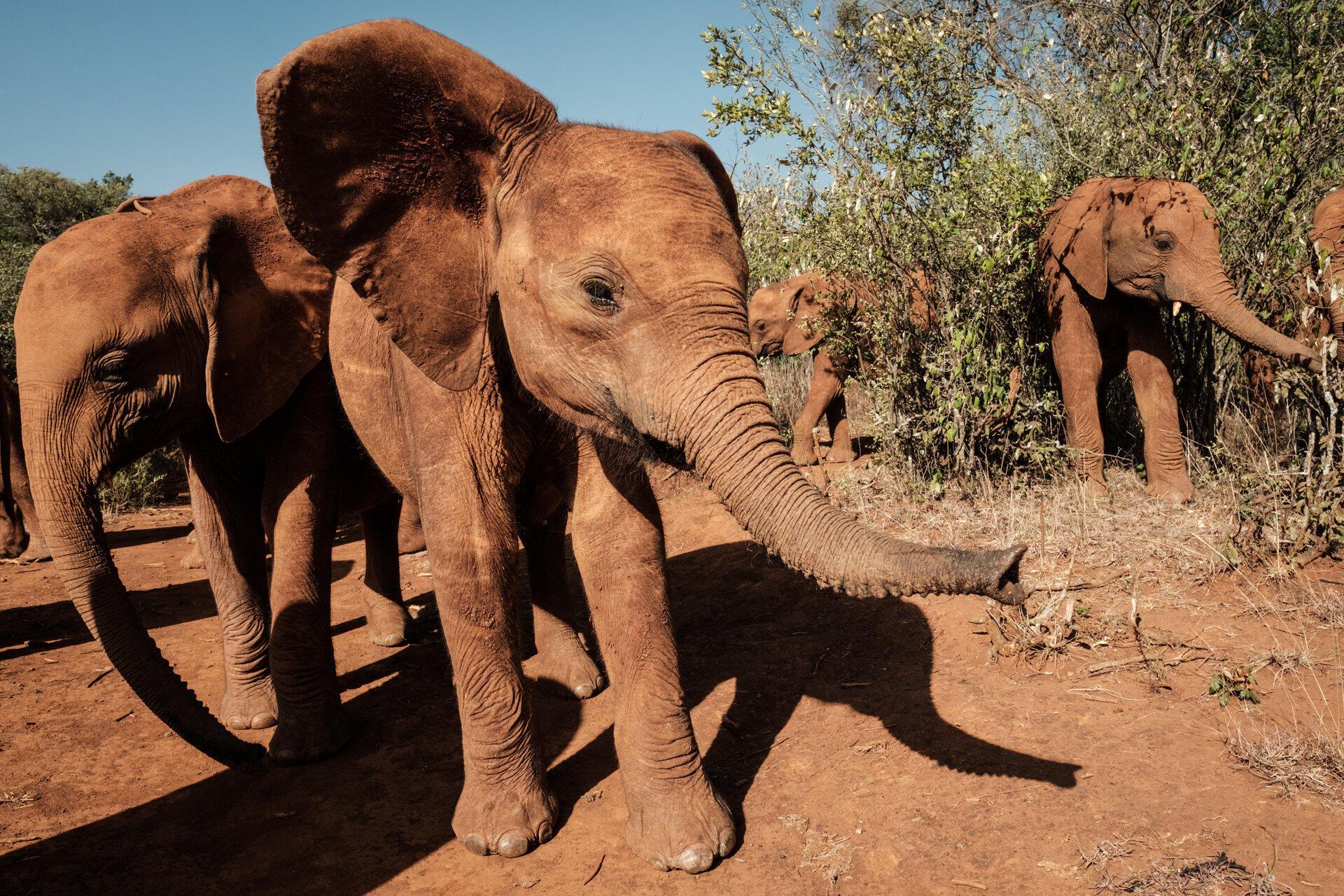 Crías de elefantes en un centro especializado en Nairobi, Kenia, el 12 de marzo de 2019.