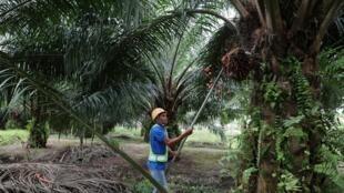 Une plantation d'huile de palme en Malaisie.