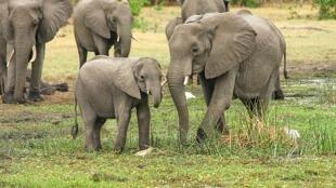 Sauvegarder les éléphants d'Afrique du Sud.