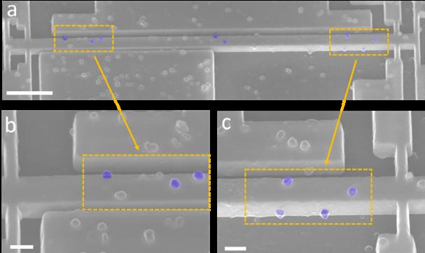 """Vista al microscopio de este sistema de nanoresonadores, aquí se perciben los virus (bacterioófago T5) que """"tocan"""" los resonadores."""