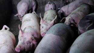 Criadero de cerdos en la provincia de Liaoning en China.