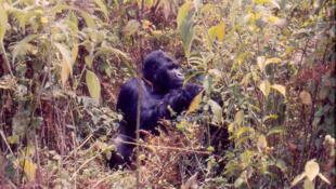 Les gorilles des montagnes sont regroupés dans le parc national des Virunga en RDC.