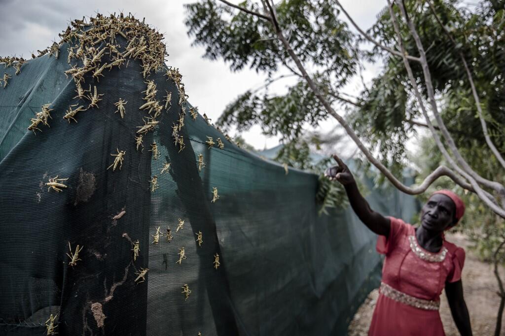 Africa-locust-swarm