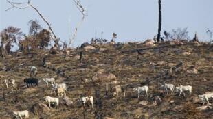 Un troupeau dans une zone brulée amazonienne, au nord du Brésil, le 28 novembre 2009.