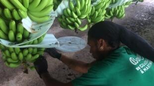 La banane fournit 10 000 emplois directs en Guadeloupe et en Martinique. Le passage à l'agro-écologie exige plus de main-d'œuvre.