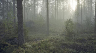 Une forêt finlandaise.