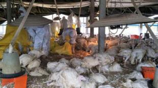 2017年2月7日,農曆春節過後,台灣雲林再爆3起禽流感,縣府7日表示,今年1月至今發生疫情12場,累計撲殺12萬6660隻,圖為防疫人員在禽場撲殺。