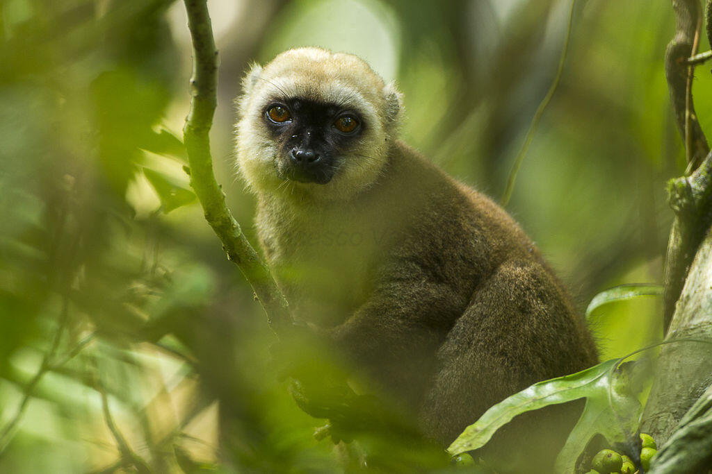 White-fronted_Brown_Lemur_Madagascar_Francesco_Veronesi_Wikiwommons