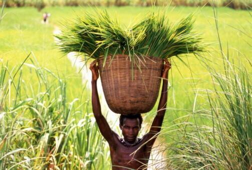 Cultura do arroz em Moçambique