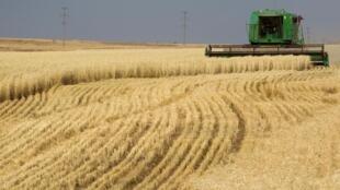 Les exportations de blé dur européen progressent de 42% pour alimenter un commerce très actif en période de confinement, celui des pâtes (+ 5%) (image d'illustration).