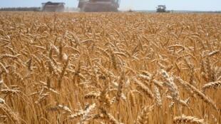 Un champ de blé dans le village de Karpenkovo à 150 Kilomètres de Voronezh en Russie (image d'illustration).