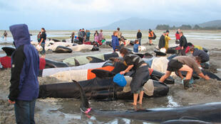 Volunteers keep whales hydrated during a previous beaching in Golden Bay in December 2005.