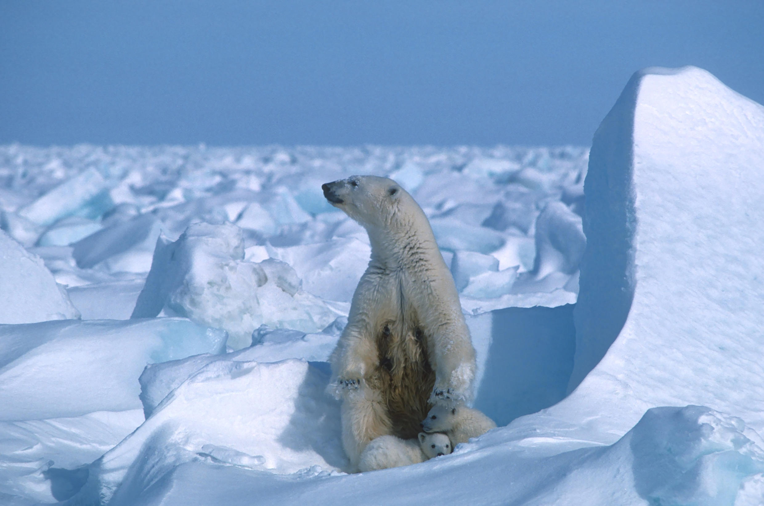 The Arctic National Wildlife Refuge is home to polar bears such as this one, photographed on sea ice northeast of Prudhoe Bay in Alaska
