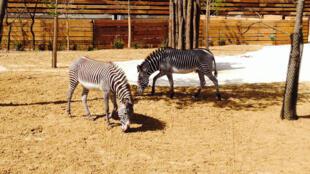 Zèbres du zoo de Vincennes.