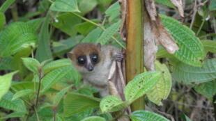 Madagascar Lemur Mjonahi