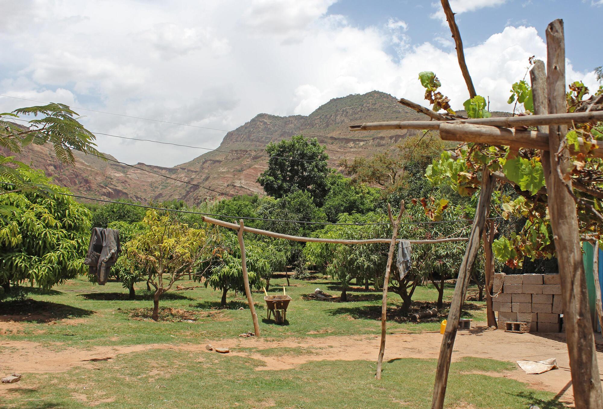 Le verger d'Asqwal Halefom, verdoyant, au pied des montagnes rouges du Tigray, dans le nord de l'Éthiopie.