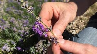 Si la lavande est avant tout une plante médicinale, elle est aussi utilisée pour son parfum par de grands parfumeurs et des aromathérapeutes.
