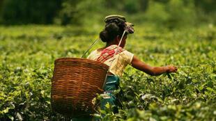 Plucking tea in a tea garden of Assam, India