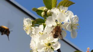 En butinant les fleurs d'un cerisier, puis d'un autre, ces deux abeilles vont transporter le pollen nécessaire à la fécondation.