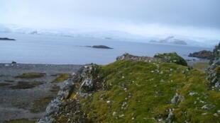 Rocas cubiertas de pasto antártico en Punta Nebbles (Isla Rey Jorge).