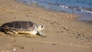 Blessée et soignée, la tortue Katerina retrouve la liberté, sur une plage encore sans béton.
