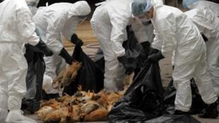 香港卫生单位在批发市场处理扑杀的鸡只  2011年12月21日