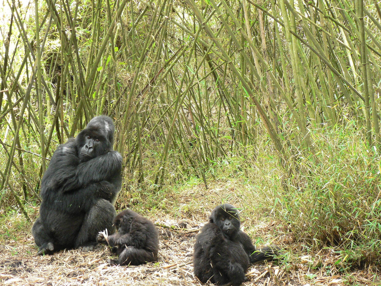 Silverback Bwenge takes care of orphans Ntaribi and Akaramata_Dian Fossey Gorilla Fund