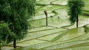 Người nông dân trên một cánh đồng lúa tại Ấn Độ.