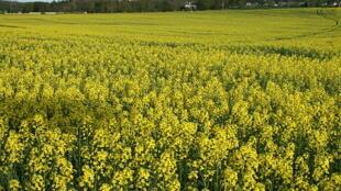 Le colza est la plante la plus utilisée en Europe pour fabriquer des biocarburants.