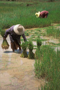 Rizières en Thaïlande