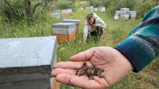 Um apicultor no sul da França mostra abelhas mortas. Junho de 2014.