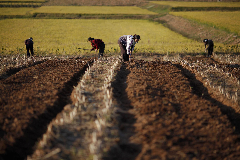 Nông dân Bắc Triều Tiên cầy ruộng tại tỉnh Hwanghae (REUTERS)
