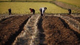 Các nông dân Bắc Triều Tiên làm việc trên cánh đồng tập thể tại tỉnh Hwanghae. Ảnh chụp dưới sự kiểm soát của chính quyền Bình Nhưỡng.