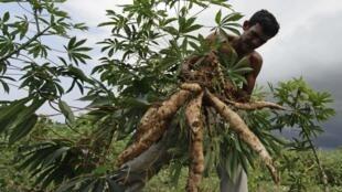 Le pondu ou saka-saka est un plat à base de feuilles de manioc préparé et servi avec une pate ou du riz. Le pondu est mangé partout mais de manière différente.