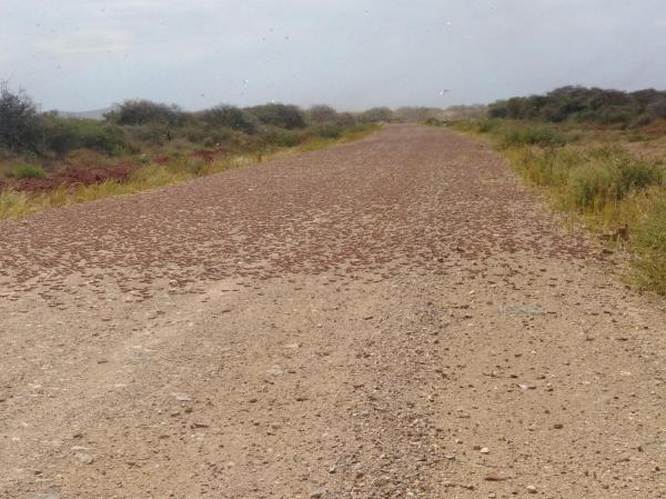 Locusts fill the air and cover the ground near the Kenyan border in Ethiopia, January 2020