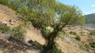 Le tapia, arbre endémique de la Grande Île : entre mai et juin, les papillons viennent pondre leurs œufs dans ses branches.