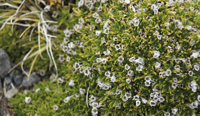 Colobanthus quitensis, una de las dos plantas con flor presentes en la Antártica.