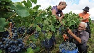 Сбор винограда в Кахетии, 23 сентября 2014.