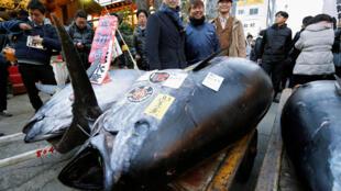 Hiroshi Onodera, le propriétaire d'une chaîne de restaurants de sushis, pose devant un thon de 405 kg qu'il a acquis pour 36,5 millions de yens, soit 268 000 euros.