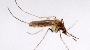 Mosquito transmissor de encefalite japonesa - ilustração