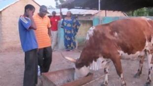 Malgré un rôle important dans l'économie malienne, l'élevage se heurte à des contraintes majeures telles que les maladies animales.