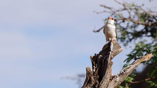 2020-06-11 south africa wildlife pygmy falcon Kalahari tree skink