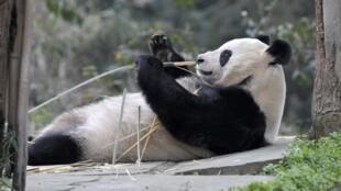 Tian Tian, « femme » du mois de décembre, selon la BBC.