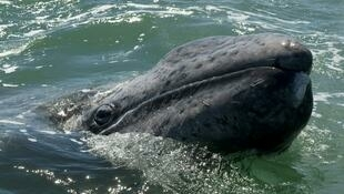 Pacific gray whales have been protected since 1947. Their numbers have dropped by a third, from around 26,000, in the late 1990s. (Illustration photo)